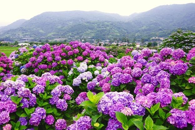 Надзвичайне видовище: у Японії почався сезон цвітіння гортензій (ФОТО)