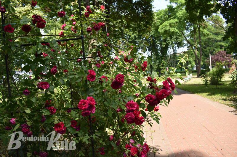 Настоящее королевство цветов: на столичном Подоле зацвели сотни бутонов роз (ФОТО)