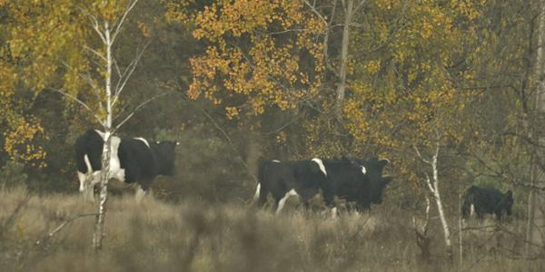 У Чорнобильському заповіднику показали стадо здичавілих корів