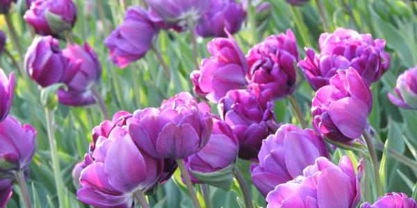 """Картинки по запросу """"тюльпанів: під Києвом створюють незвичайний парк"""""""""""