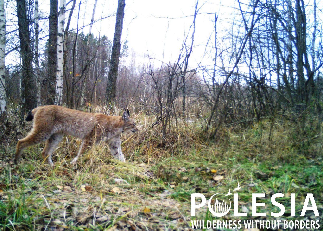 Чорнобильський заповідник, рись, тварини, зона відчуження
